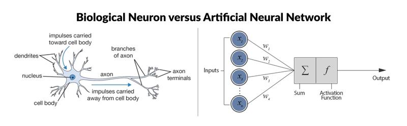 Biological Neurin versus Artificial Neural Network illustration
